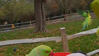 Feeding Countless Beautiful Wild Parakeets