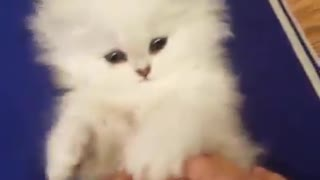 white kitten plays with forelegs - Video