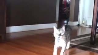 Grey cat plays fetch with purple slinky