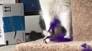 Black and white cat playing with purple feather toys - Video