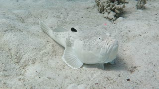 Rare Encounter with Poisonous Stargazer Fish