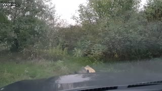 Wild Boar Wants Fight or Friendship - Video