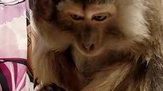 Monkey Grooms Herself - Video