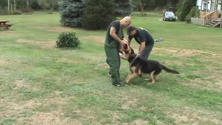GERMAN SHEPHERD PROTECTING 4 YEAR OLD LITTLE GIRL FROM BAD GUY - Video