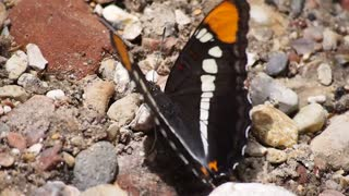 Butterfly wings insect flapping
