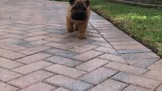 Brown dog walking towards camera outside - Video