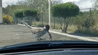 Roadrunner Does the Happy Dance on Car Hood
