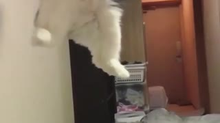 Crazy cat playing and jumping after the ball - Video