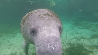 Extremely Friendly Manatee Swims Right Up To Diver - Video