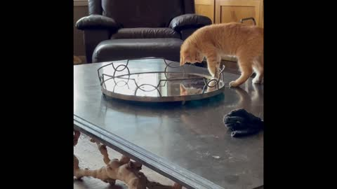A kitten, his tail and a mirror!