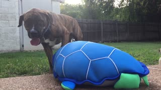 Mastiff Saves A 'Turtle' From Drowning In A Pool - Video