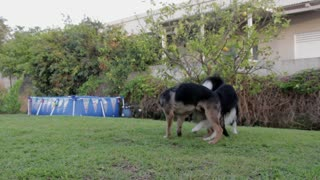 Dogs Playing 1