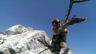 Wild monkey steals tourist's hat in Gibraltar - Video