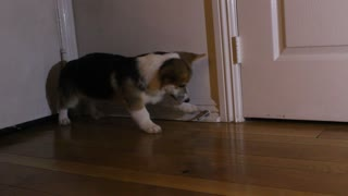 Adorable Corgi puppy battles a door stop - Video