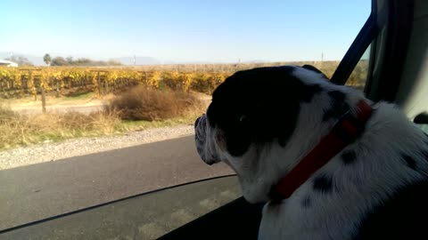 Indiana the Bulldog Goes on a Road Trip