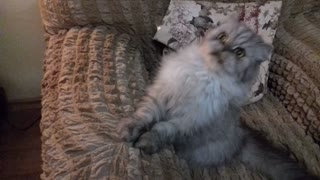 Adorable kitten preciously plays with string - Video