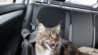 This cat acts like a dog in the car!