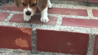 Puppy courageously learns to go down the stairs