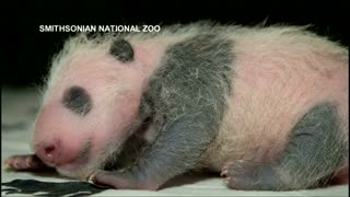 Washington zoo's panda cub is healthy and now has his markings - Video