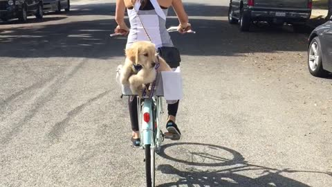 Golden Retriever puppy in a bike basket