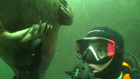 Wild grey seal holds diver's hand