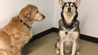 Brown dog and german shepherd play with each other on tile floor - Video