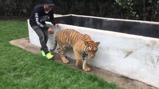 Lewis Hamilton scares the hell out of a tiger - Video