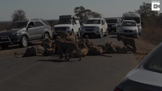 Pride Of Lions Block Road While Eating Hunt - Video