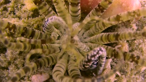 Burrowing Anemone Looks like Alien Species