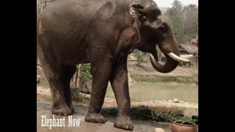 Elephant take water from The Bowl And Pour Water on His Body