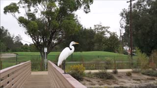 Giant German Shepherd Dog Scares Great White Heron