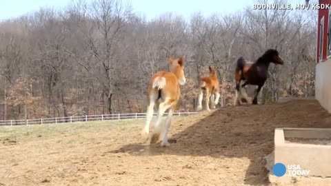 He's Responsible For 70 Clydesdale Horses, Now Watch How He Looks After Them
