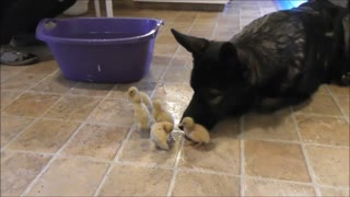German Shepherd acts as lifeguard for swimming ducklings - Video