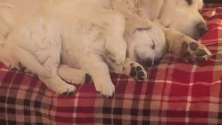 Golden Retrievers duermen juntos la siesta adorablemente - Video
