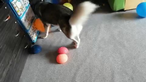 Purebred husky is played with balls