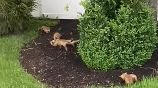 Litter of fox kits play outside in this person's backyard