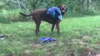 Brown dog rolling around grass tries to get rid of blue backpack - Video