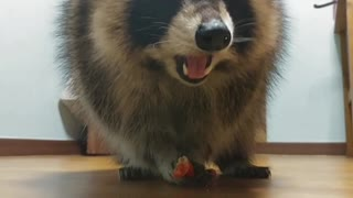 [Buriburi] Raccoon Eats Sausage♥ - Video