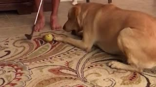 Cream dog wanting to get ball every time owner tries hitting it  - Video