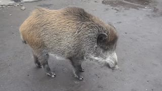 Wild Pig With Cat Friend - Video