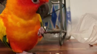Parrot finds his favorite snack