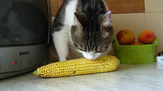 My cat has a strange corn addiction  - Video