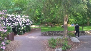 Bear Wandering in Park - Video