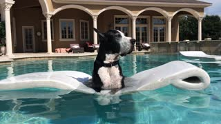 Katie the Great Dane relaxing in the pool