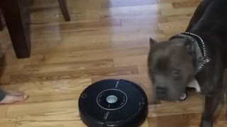 Roomba's Greatest Predator - Video