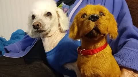 Poodle becomes extremely jealous of fake dog