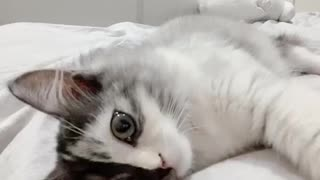 Two-Faced beautiful kitten♡Melting your heart