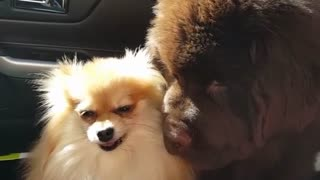 Tiny Pomeranian puts Newfie puppy in his place! - Video