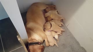 10 baby Lab puppies suckle milk