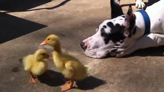 Great Dane and 200lb Mastiff play with baby ducks - Video
